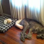 dog big beds