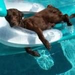 dog takes break in pool