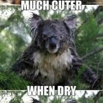 kolas cute when dry