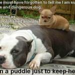 pitbull puddle